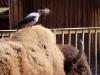 corvus-cornix