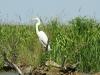 egretta-alba